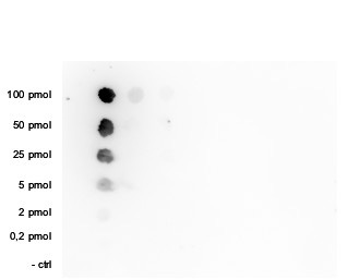 H3K36me1 Antibody validated in Dot Blot