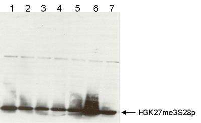 H3K27me3S28p Antibody validated in Western Blot