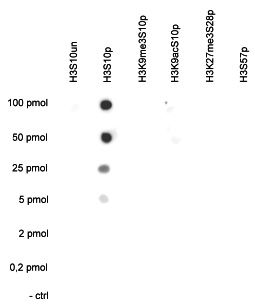 H3S10p Antibody valiadted in Dot Blot