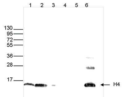 H4pan Antibody validated in Western Blot