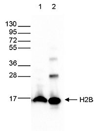 H2Bpan Antibody validated in Western Blot