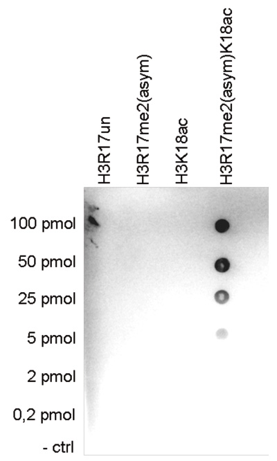 H3R17me2(asym)K18ac Antibody Dot Blot validation