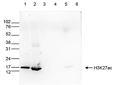 H3K27ac Antibody for Western Blot