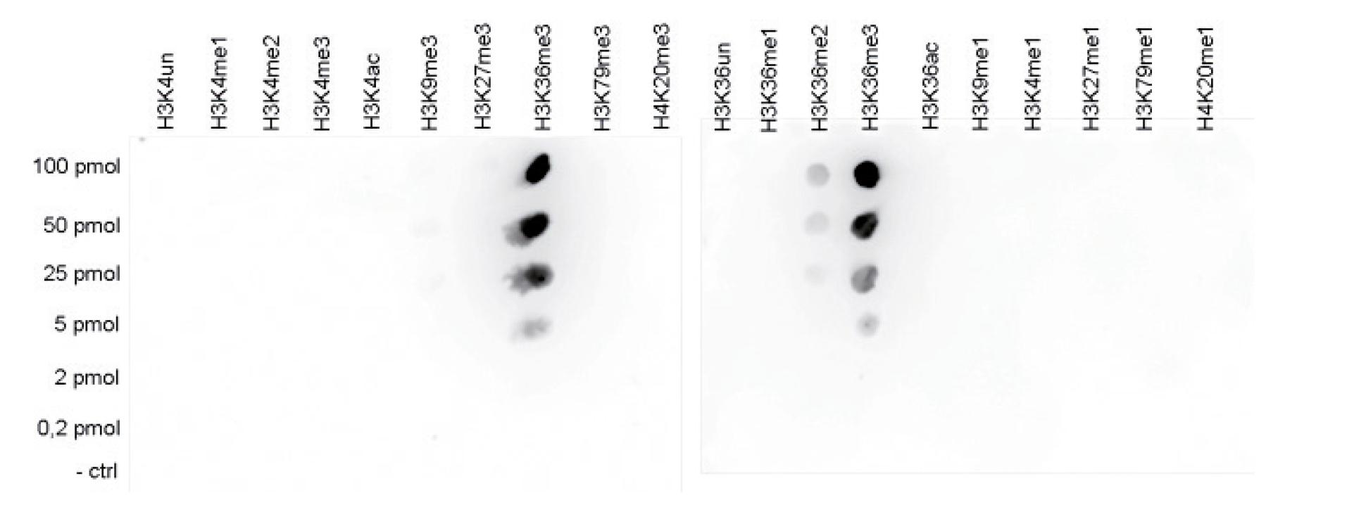 H3K36me3 Antibody Dot Blot Validation