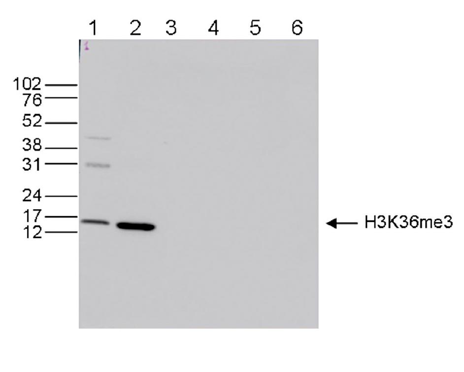 H3K36me3 Antibody for Western Blot