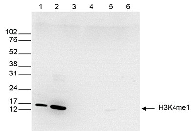 H3K4me1 Antibody validated in Western blot