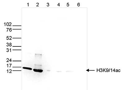 H3K914ac Antibody validated in Western Blot
