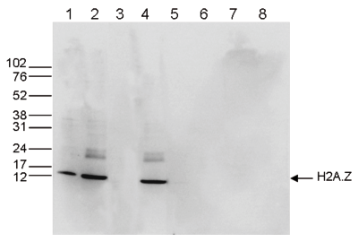H2A.Z Antibody validated in Western Blot
