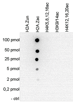 H2A.Zac Antibody validated in  Dot Blot