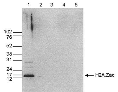 H2A.Zac Antibody validated in Western Blot