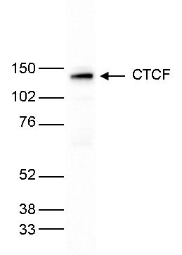 CTCF Antibody for Western Blot