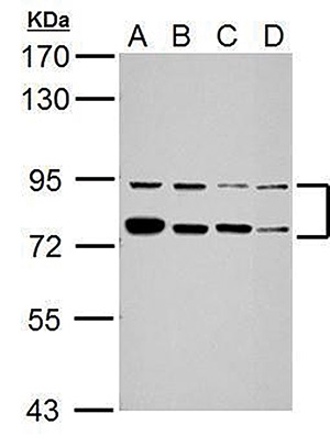 Antibody validated in  Western Blot
