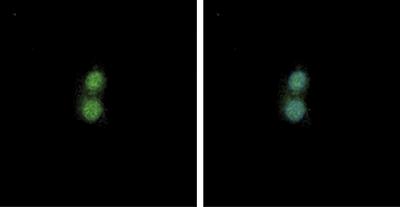 NF-E2 Antibody validated in Immunofluorescence