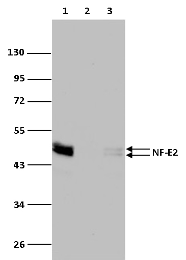 NF-E2 Antibody validated in Western Blot