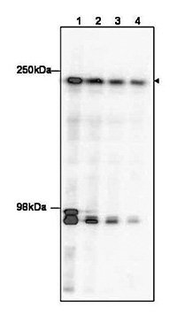 Western blot results
