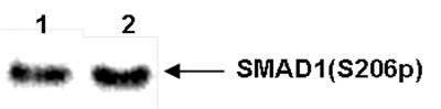SMAD1 Antibody validated in Western Blot
