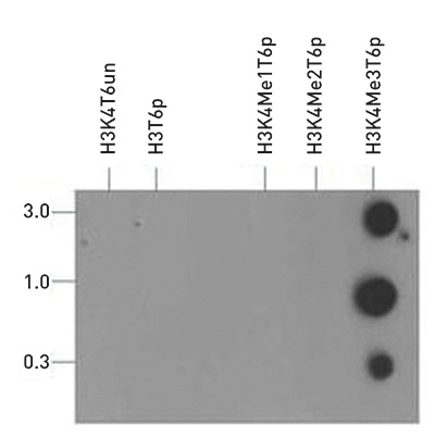 H3K4me3T6p Antibody validated in Dot Blot