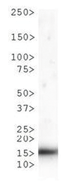 H3T6pK9me1 Antibody validated in Western Blot