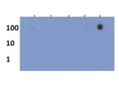 H3K27me3S28p Antibody validated in Dot Blot