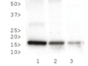 H3K27me3S28p Antibody validated in Western Blot