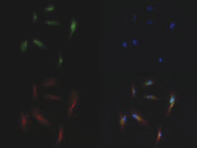 H3K56me1 Antibody validated in Immunofluorescence