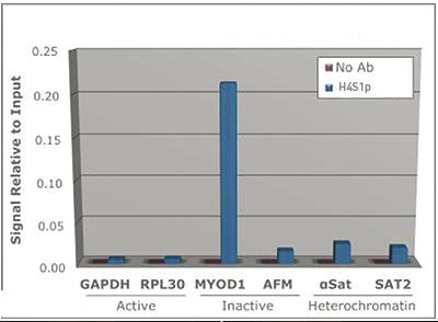 H4S1p Antibody ChIP Grade
