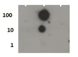 H4S1p Antibody validated in Dot Blot