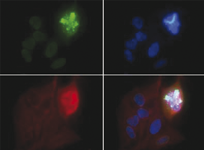 H4S1p Antibody validated in Immunofluorescence