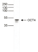 OCT4 Antibody validated in Western Blot