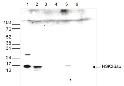 H3K36ac Antibody validated in Western Blot