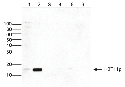 H3T11p Antibody valiadted in Western Blot
