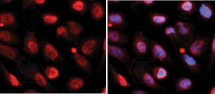 RNF2 Antibody Immunofluorescence