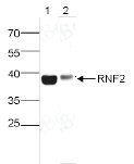 RNF2 Antibody Western Blot