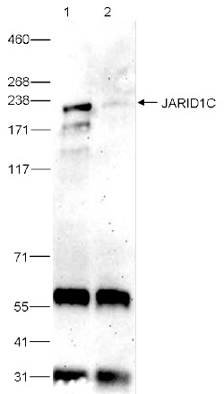 JARID1C Antibody validated in Immunoprecipitation