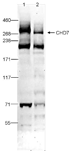 CHD7 Antibody validated in Western Blot
