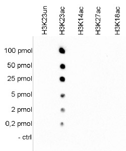 H3K23ac Antibody validate in Dot Blot