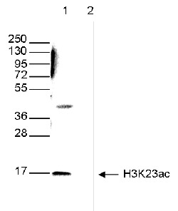 H3K23ac Antibody validated in Western Blot