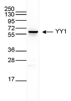 YY1 Antibody validated in Western Blot