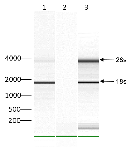 m66A Antibody validated in RIP