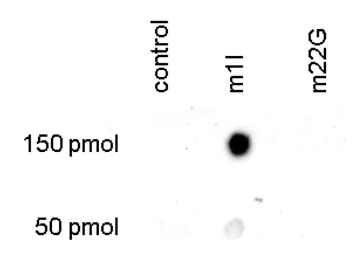 m1I Antibody Dot Blot validation