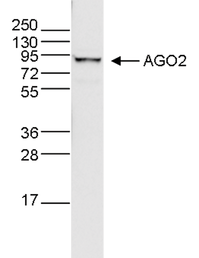 Ago (Argonautes) Antibody validated in WB