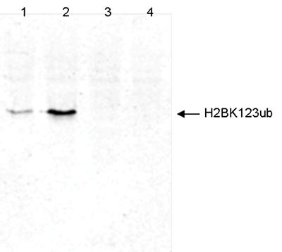 H2BK123ub Antibody validated for Western Blot