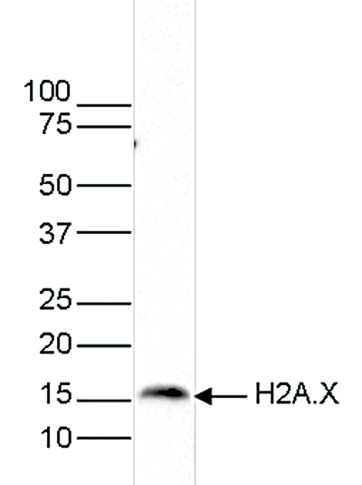 H2A.X Antibody validated in Western blot