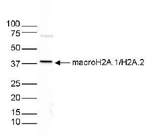 macroH2A.1/H2A.2 Antibody validated in Western Blot