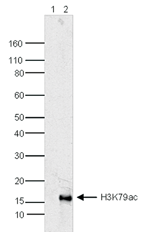 H3K79ac Antibody validated in Western Blot