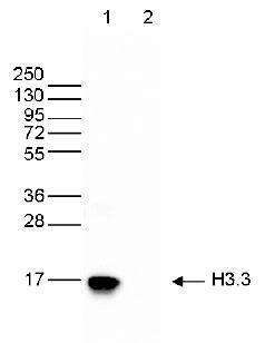H3.3 Antibody validated in Western Blot