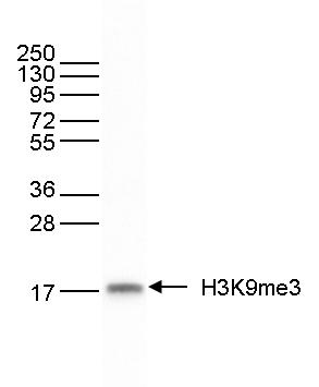 H3K9me3 Antibody validated in Western blot