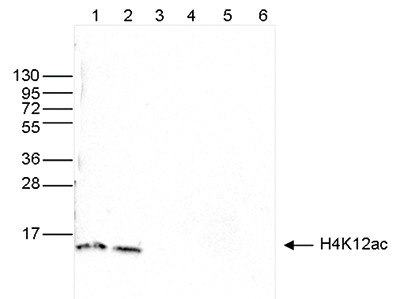 H4K12ac Antibody validated in Western Blot