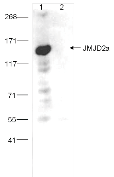 JMJD2a Antibody validated in Immunoprecipitation