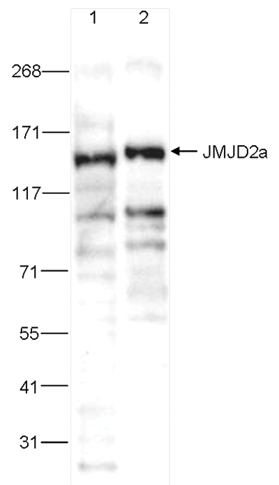 JMJD2a Antibody validated in Western Blot